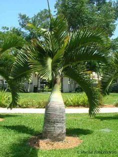bottle palm - Hyophorbe lagenicaulis. Endangered in the wild. zones 10b-11