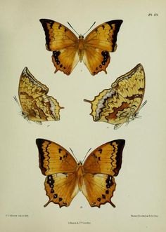 Plate of Lepidoptera from Lepidoptera Indica. By F. Moore. Published 1890 http://www.archive.org/stream/lepidopteraindic02moor#page/n7/mode/2up