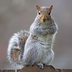 WHATEVER!............  Eastern gray squirrel