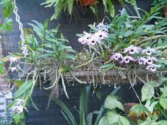 Dendrobium nobile en tronco