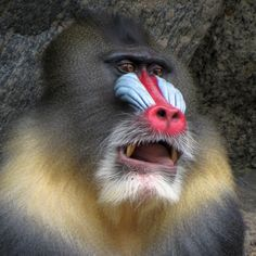 Mandrill by Munzibln