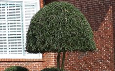 An exceptionally attractive native, the Weeping Yaupon Holly is a beautiful tree prized for it's distinctive weeping habit and for it's many uses in the landscape. Holly Shrub, Emerald Green Arborvitae, Holly Pictures, Weeping Trees, Tall Shrubs, Holly Bush, Umbrella Tree, Holly Tree, Fast Growing Trees