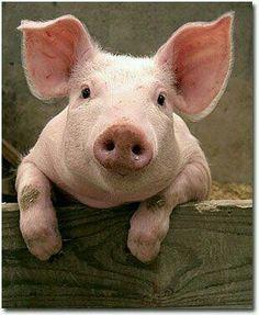 Yorkshire pig ♡