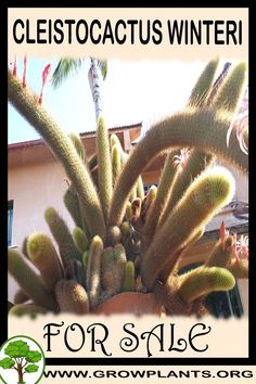 Cleistocactus winteri for sale - Grow plants - Gardening all need to know before buy this plant Tips, amount of water, sun exposure, planting season, blooming season, hardiness zone, height of the plants, if it's grow as houseplant and much more #gardening, #plants Easy Plants To Grow, Buy Plants, Growing Plants, Cactus Plants, Vegetative Reproduction, Rat Tail Cactus, Ground Cover Plants, Water Lighting, Plant Sale