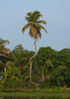 https://flic.kr/p/dkGZ1R | Twisted Palm Trees In Backwaters Of Kerala, Alleppey, India | Alappuzha or Alleppey is a town located in Kerala on the Arabian coast and considered as the 'Venice of the East'; the city is famous for its mesmerizing backwaters composed of small idyllic islands, its quaint water-bound villages, its shady streets along the important network of waterways full of houseboats and little canoes; Alappuzha is also known for its boat races during the harvest season in…