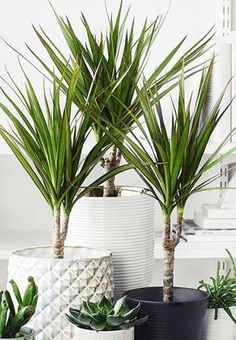 Dracena - Plant of the Month – Forest Plant Care, Dracena Plant, Potted Plants, Indoor Plants, Flower Shop Interiors, Perfect Plants, Growing Plants, Yard Landscaping, Gardens