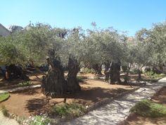 Гефсиманский сад. Иерусалим. Израиль
