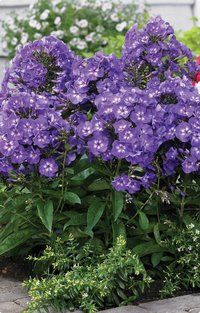 Phlox 'Purple Kiss' has huge fragrant deep purple flowers with white eyes.