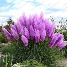 New Rare Purple Pampas Grass Seeds Ornamental Plant Flowers Cortaderia Selloana Grass Seeds 500 Pieces / Lot - Gardening Choice Org