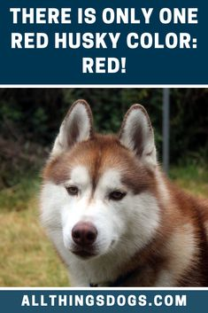 Red Husky: Everything You Should Know About The Red Siberian Husky Siberian Husky Colors, Siberian Husky Dog, Red Husky Puppies, Husky Puppy, Large Dog Breeds, Large Dogs, Agouti Husky, Husky Breeds, Dog Activities