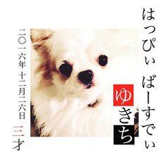ゆきち、おめでとう🐶💓 #ゆきち #愛犬 #最近かまってあげられなくてごめんね #嬉しいときも辛いときも #気づけばいつも一緒にいてくれる #ゆきちを幸せにするために #ママがんばる😤 #ぶさかわ犬 #チワワ #3才