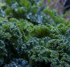 Seminţe de varza kale Broccoli, Seeds, Vegetables, Gardening, Sage Green House, Plant, Lawn And Garden, Vegetable Recipes, Veggies