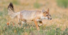 best photos and images ideas about cool swift fox - Vulpes Velox