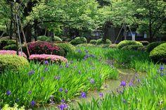 Kakitsubata Irises and azaleas