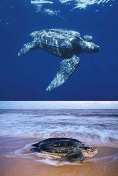 Giant Leatherback Sea Turtle. #seaturtle #seaturtles #leatherback Turtle Day, Turtle Book, Padi Diving, Scuba Diving, Leatherback Turtle, Baby Sea Turtles, Marine Conservation, Animal Facts, Koh Tao