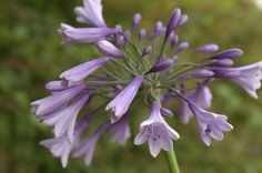 Buy African Lily Agapanthus 'Liam's Lilac': Delivery by Crocus.co.uk