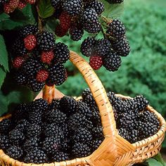 Large, Sweet, Blackberries Perfect For Home Growing  -   The Triple Crown Blackberry is a new and improved blackberry variety that's quickly rising to the top as the most popular type of blackberry to grow at home.    Triple Crown Blackberries are thornless and pump out tons of enormous, savory berries that you can pick without the...