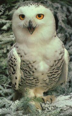 Chouette Harfang, ou Chouette des Neiges ou Harfang des Neiges (Nyctea scandiaca), by http://oiseauxdeproie.tcedi.com