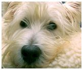 Westies In Need West Highland White Terrier Rescue and Rehoming
