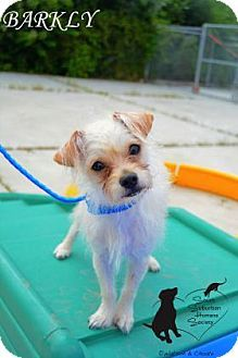 Chicago Heights, IL - Podengo Portugueso/Chihuahua Mix. Meet BARKLY, a dog for adoption. http://www.adoptapet.com/pet/13428122-chicago-heights-illinois-podengo-portugueso-mix