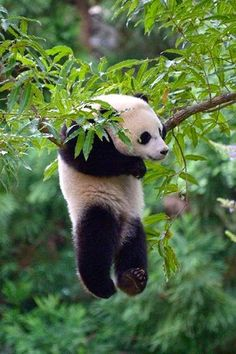 our-amazing-world: Hanging Panda Amazing World beautiful amazing Panda Bears, Nature Animals, Baby Animals, Funny Animals, Cute Animals, Animals And Pets, Drop Bear, Random Pictures, Animal Pictures