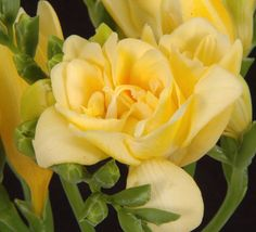Flowers. ProductsFreesia Double Yellow (Soleil.,Gold River, Alderney,Clarissa, Dyon,Boulevard ) FREYELDC Price for bunch - $13.99  10 stems in a bunch