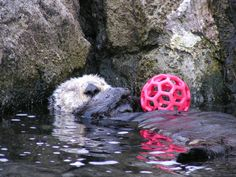 Otter Is Too Sleepy to Play with Her Toy - April 20, 2011