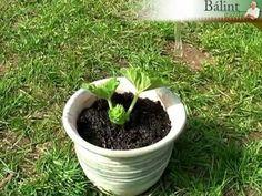 Fiatalítsuk meg a muskátlit! Green Garden, Garden Plants, Lush Green, Outdoor Gardens, Advent, Gardening, Youtube, Plant, Gardens