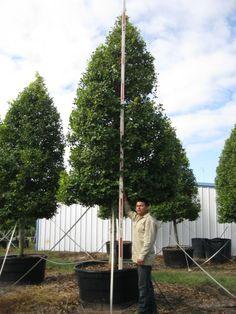 Savannah Holly Tree Form - 200 Gallon
