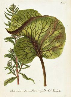 stilllifequickheart:    Johann Weinmann  Beetroot  1737-45