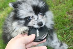 Blue Merle Pomeranian Puppy Photos More Blue Merle Pomeranian, Pomeranian Puppy, Teacup Pomeranian, Black Lab Puppies, Dogs And Puppies, Corgi Puppies, Doggies, Pom Pom Puppies, Really Cute Dogs