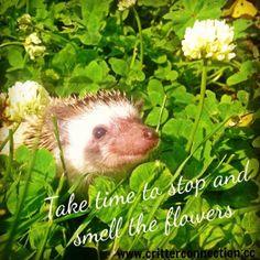 #millermeade #breeder #hedgehogs #hedgies #meme #cute #adorable #flowers #grass #summertime  www.critterconnection.cc
