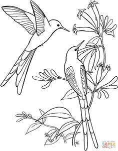 Long Tailed Sylph Hummingbird coloring page | SuperColoring.com