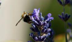 Binnen de Gene Keys is de bij totemdier van de 44ste Gene Key. Het staat symbool voor de angstsleutel van deze Gene Key. Droom je wel eens over bijen? Ben je bang dat ze je steken? Wanneer je in een droom bijen ziet, dan kan dat betekenen dat je juist sterke zenuwen hebt. De oude Grieken en Romeinen geloofden, dat wanneer een bij je in een droom steekt, dat je verliefd wordt. Of dat er een verandering in je leven plaatsvindt. Lees meer: Bee, Animals, Animales, Animaux, Bees, Animal Memes, Animal, Animais, Dieren