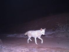 Wildlife Extra News - Albino jackal spotted in Iran