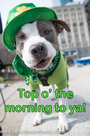 Two Pitties in the City: Pooches: Miss M and Mr B Bring Happiness to the 2014 Chicago St. Patrick's Day Parade