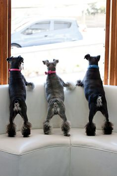 3 Schnauzers watching the world go by... #petphotography #dogs #schnauzers