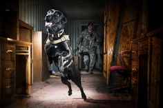 military working dogs.....An Air Force Security Forces K-9 handler, and his military working dog,