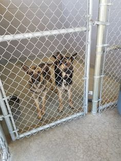 5/8/17 TWO SHEPHERDS IN LAREDO, TX  NEED HELP‼️ R1 82816 a and b PLEASE NOTE: PAL is NOT the City Shelter. we are just here to help get as many pets out Alive If interested in adopting locally: visit the City Shelter at 5202 Maher, Laredo, Texas or call (956)717-5762 for more information If you are a 501c3 rescue and are interested in tagging/pulling rpena3@ci.laredo.tx.us