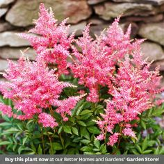 Astilbe    Enjoy the feathery plumes of Astilbe in early summer. This tough perennial blooms in shades of burgundy, red, pink, lavender, and white. In addition to the attractive flowers, it has finely cut foliage, which in many varieties is flushed with bronze. Astilbe grows best in Zones 4-8 and can reach up to 4 feet tall, depending on variety.