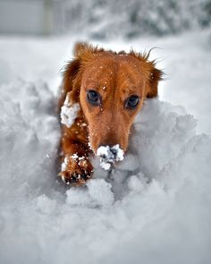 Roxy the Daschund fun in the snow