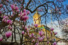 Ilyen meseszépek Szegeden a virágzó magnóliák Budapest, Plants, Painting, Art, Tulips, Art Background, Painting Art, Kunst, Paintings