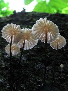 Hongos - Marasmius Rotula - Marasmius del Griego palabra para marchitar o marchitarse, refiriéndose a la capacidad de este hongo para marchitarse en tiempo seco y luego rehidratar a tamaño completo cuando llueve.
