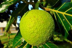Pitcairn Island breadfruit. 2012 Pitcairn Islands