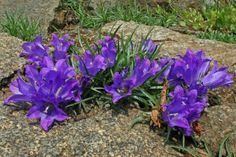 Edraianthus vesovicii