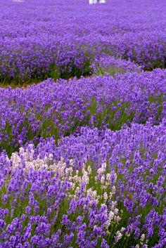 fields of lavender Lavender Fields, Lavender Color, Lavender Flowers, Love Flowers, Purple Flowers, Beautiful Flowers, Lavander, Lavender Blossoms, Purple Love