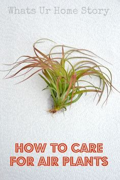 How to care for Air Plants ,  grow air plants, air plant care. Yup, the first one I had died. I might have to give it a try again.