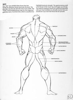 Male back muscle reference