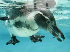 This Humboldt Penguin looks for anchovies in a pool after feeding time at London Zoo.  Alastair Grant, AP