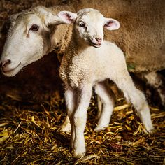 Photo essay of lambs and ewes in an old barn in Waldorf, Minnesota